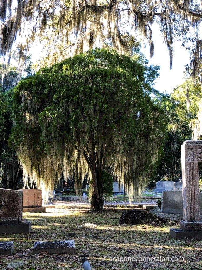 Savannah Georgia Tree